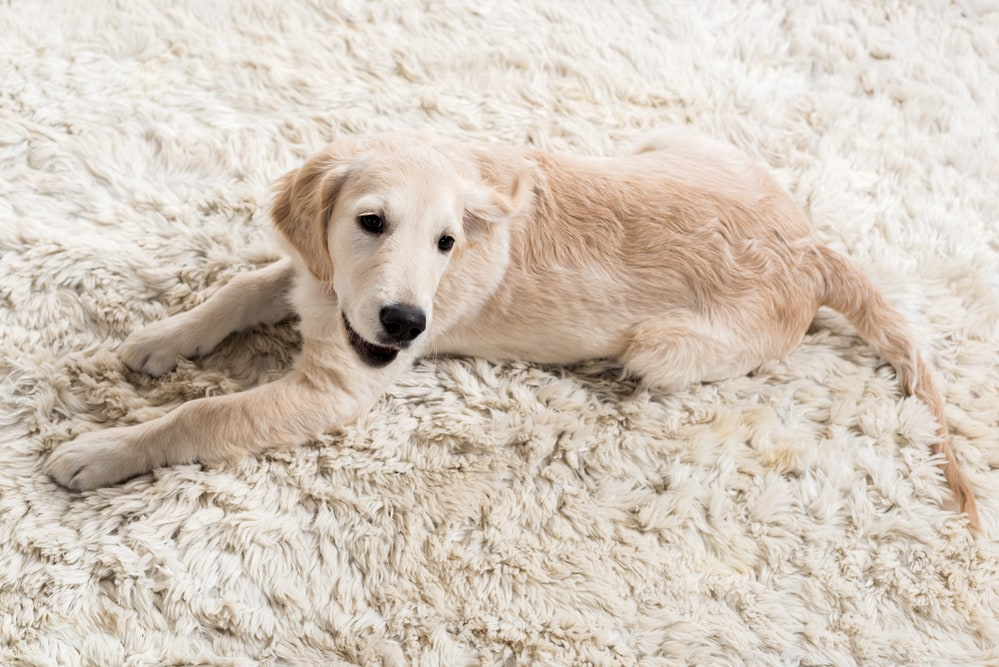 Why Do Dogs Eat Carpet