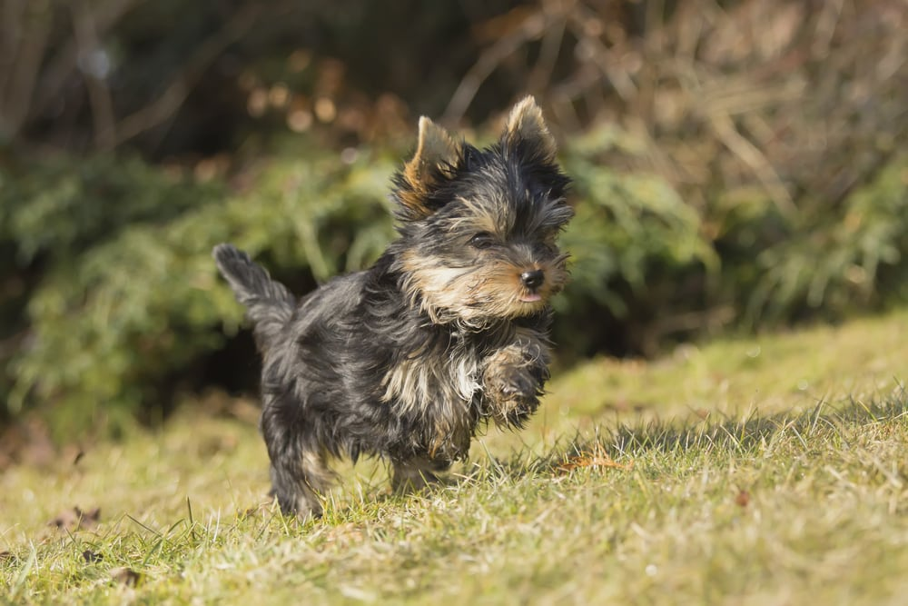 caring for silverback yorkie
