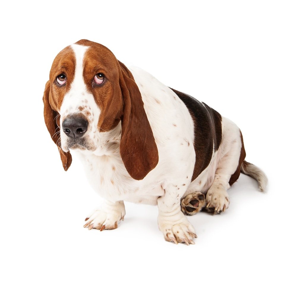 Basset Hound dog looking up with a guilty expression