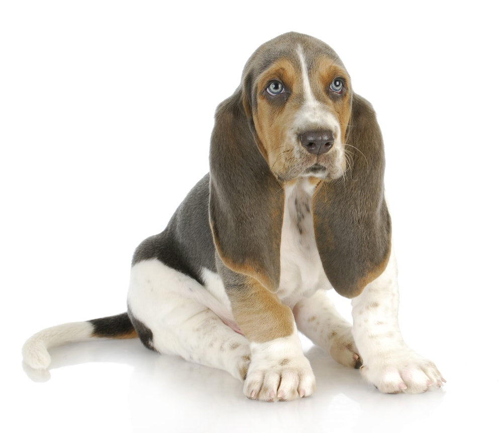 Is Blue Blue Basset Hound Right for me
