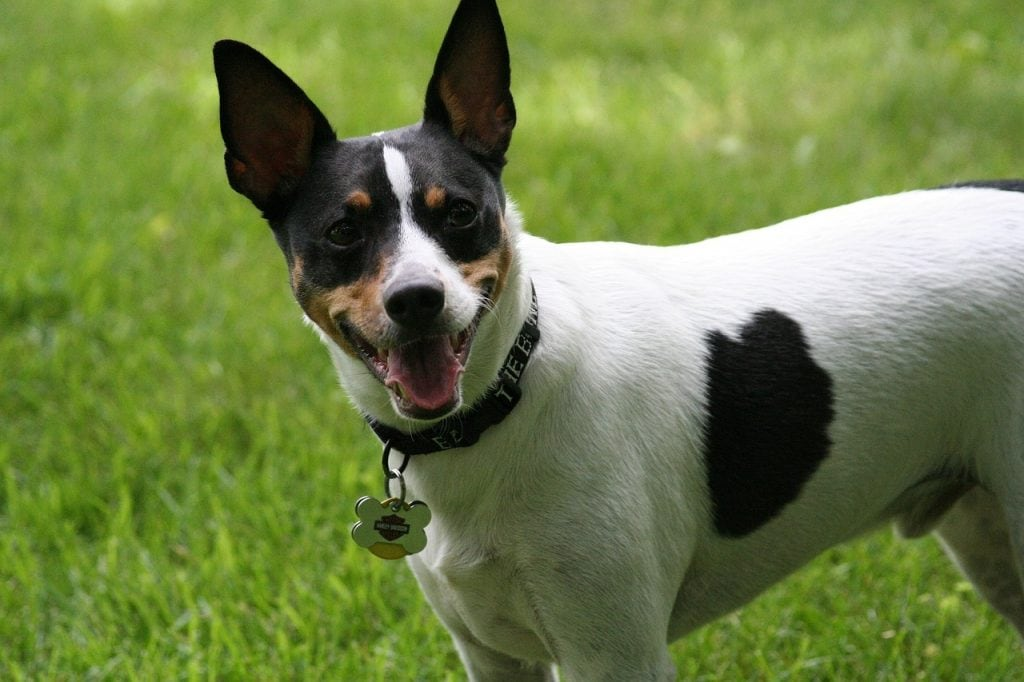 Rat Terrier Border Collie Mix