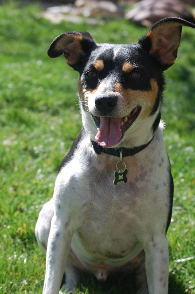history of rat terrier
