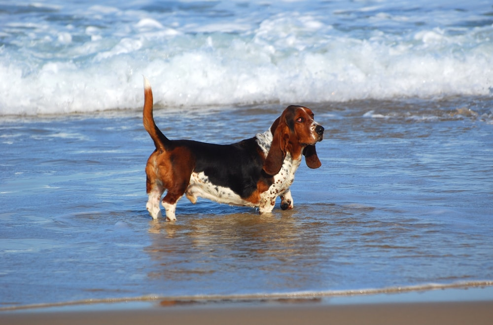 the rare breed blue basset hounds