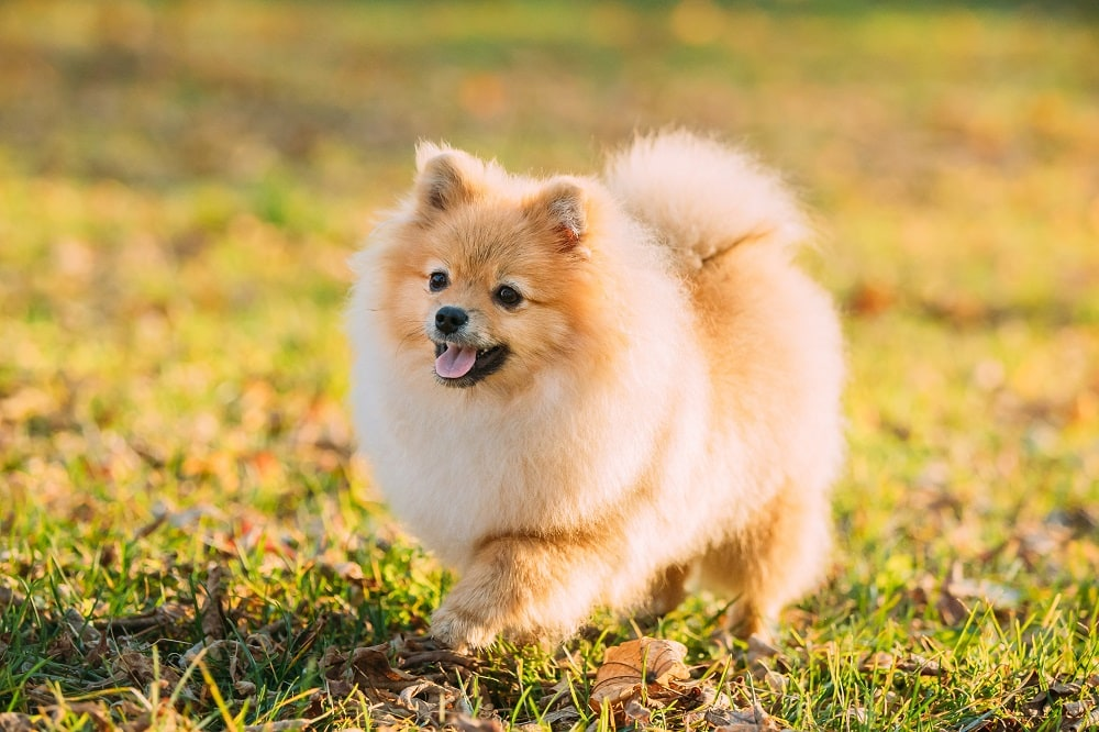 Are Pomeranians Easily Trained