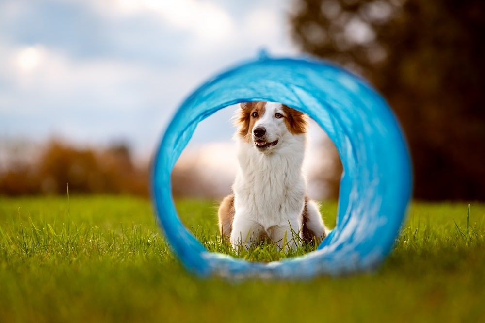 Best Agility Tunnels for Dogs Things to Consider