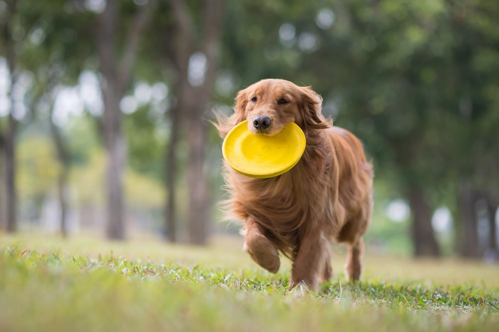 The Best Dog Breeds For Playing Frisbee