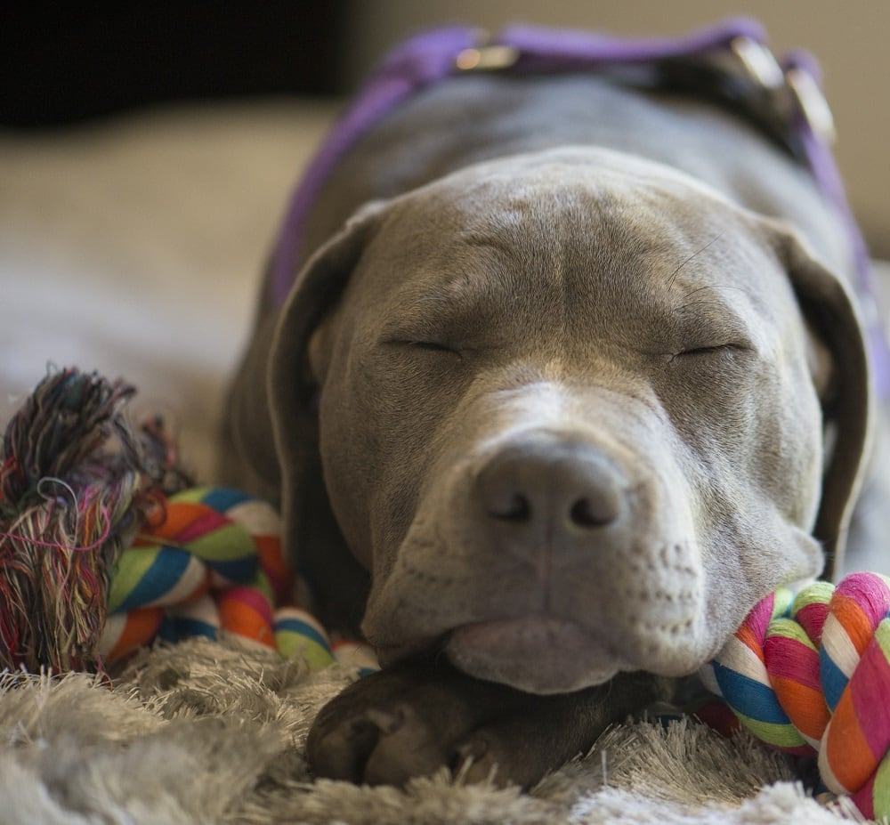 Blue Nose Pit Bull Personality and Temperament