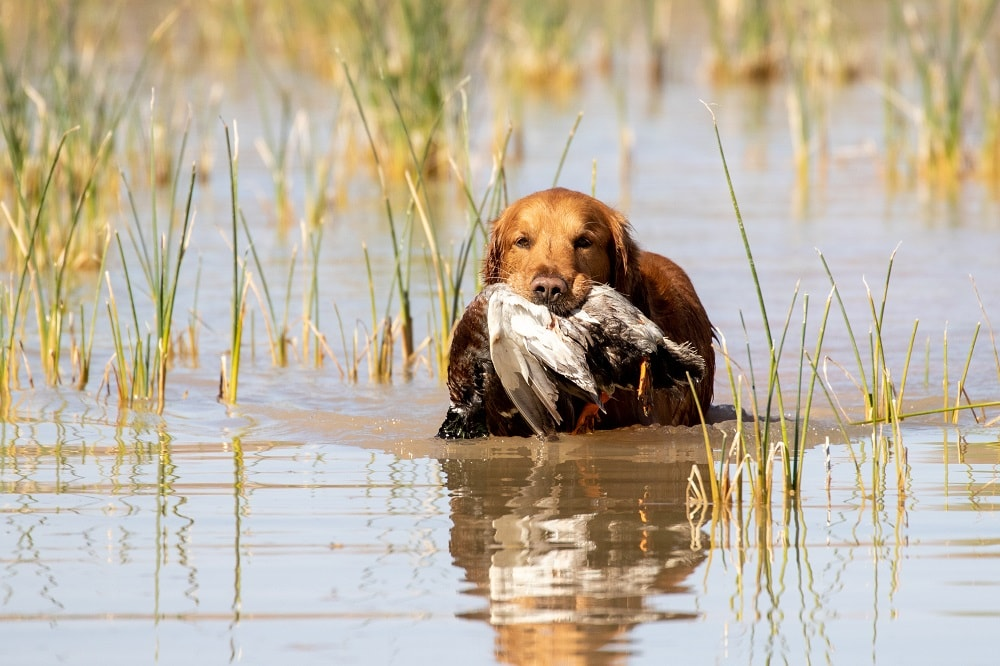 History of Duck Hunting