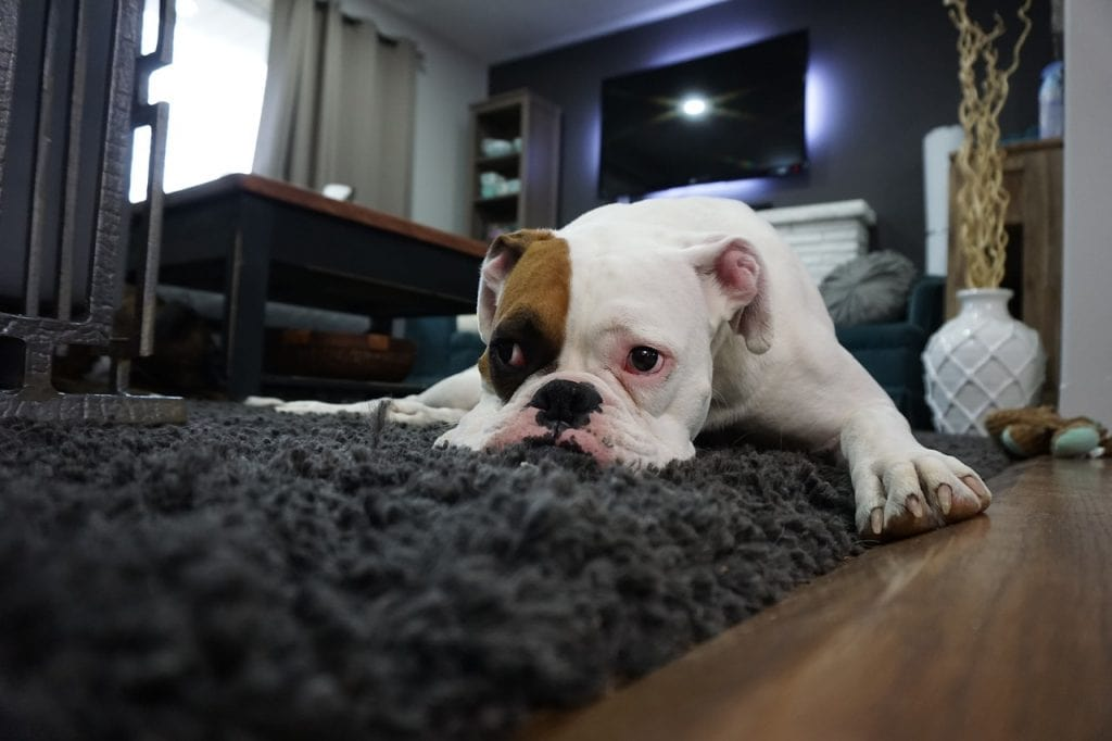 How to Get Dog Urine Smells Out of Your Carpet