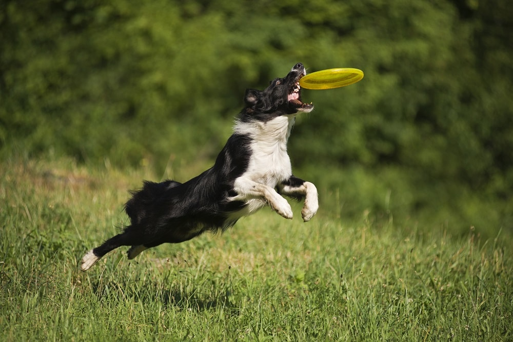 What Breeds Are Best at Fetch