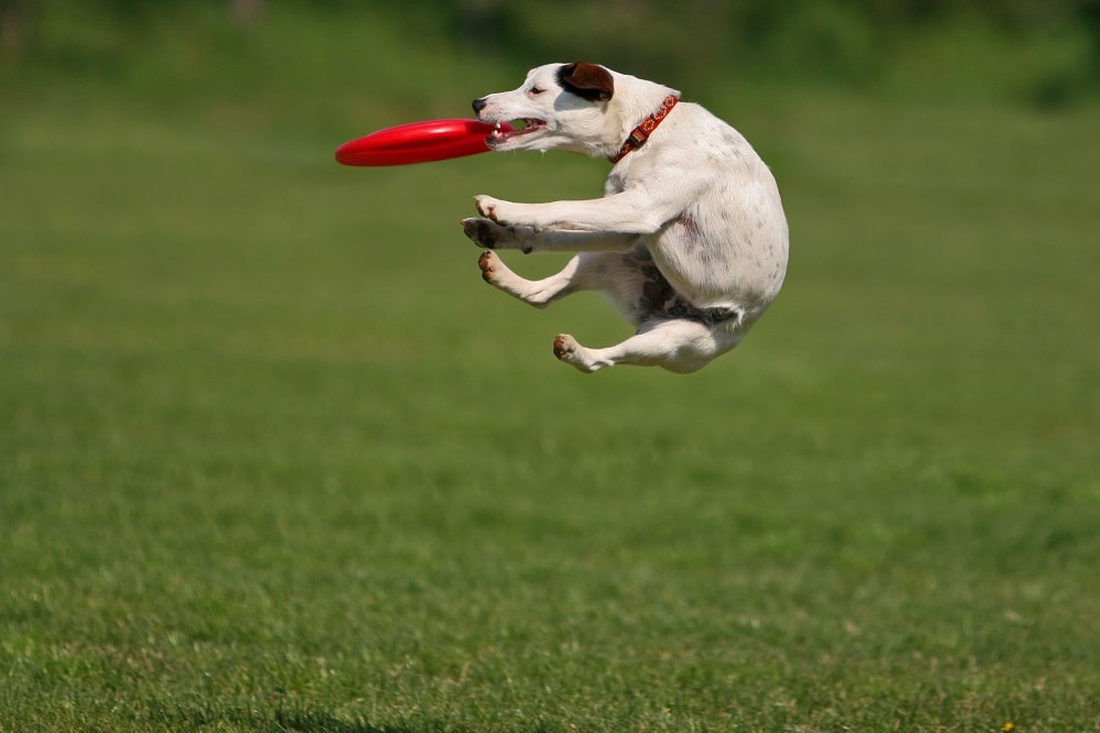 What Makes a Dog Good At Frisbee