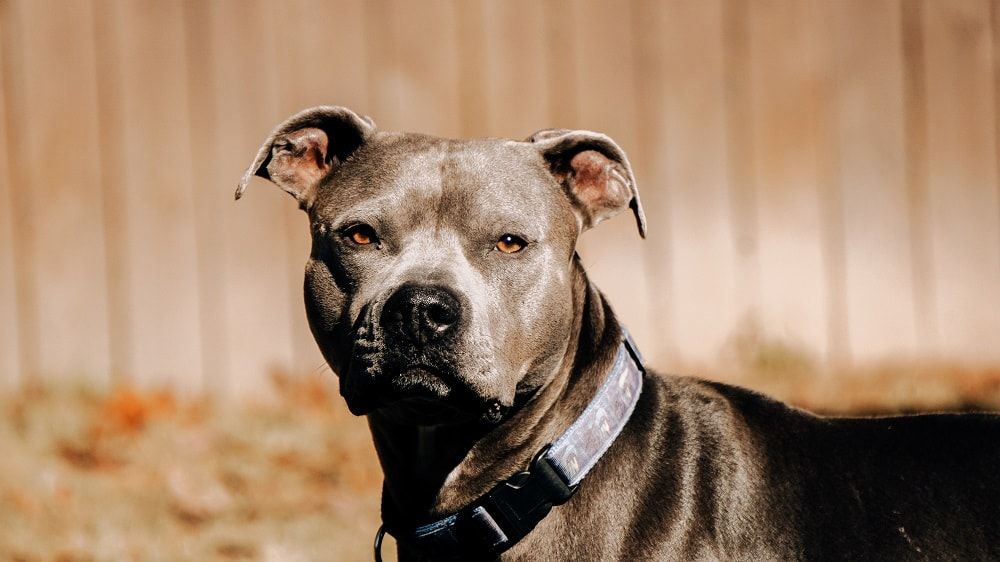 What exactly is a Pit Bull