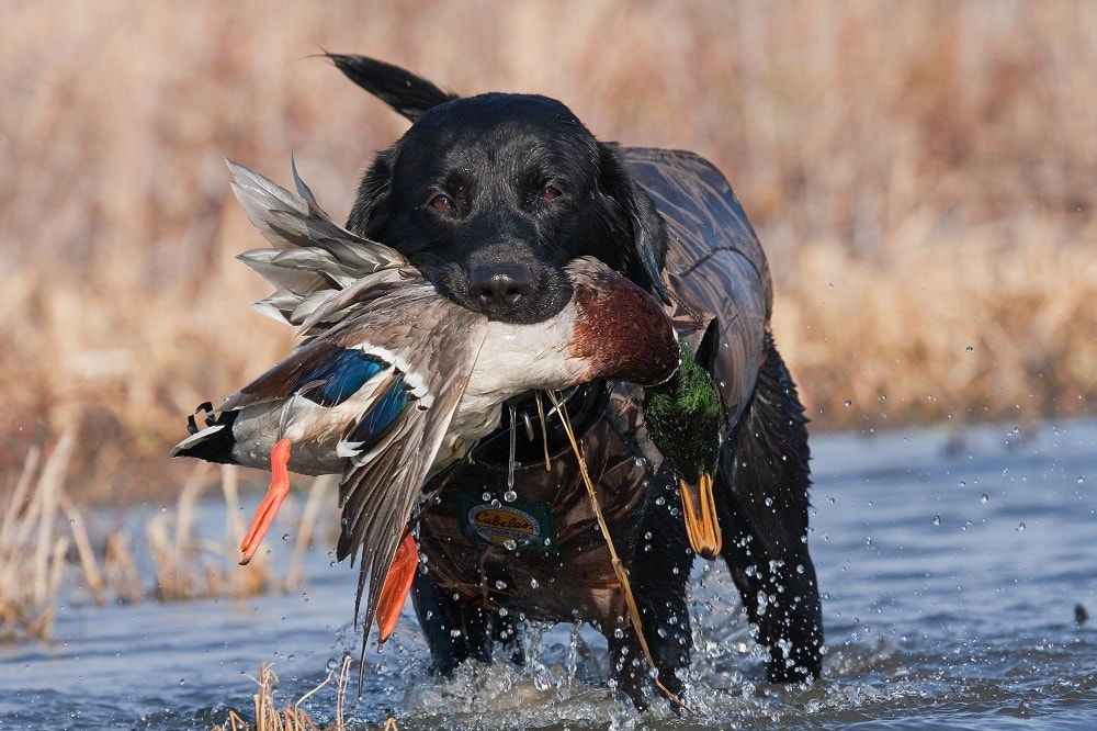 When to Start Training a Duck Dog