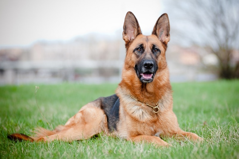 Characteristics of German Shepherd Golden Retriever Mix