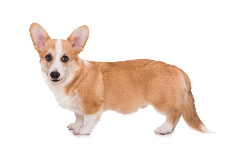 Corgi Mixed Breeds