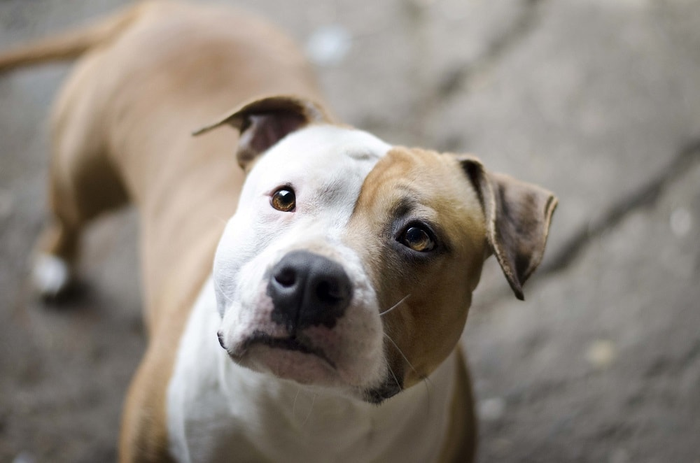 Difference Between American Staffordshire Terrier vs Pit Bull
