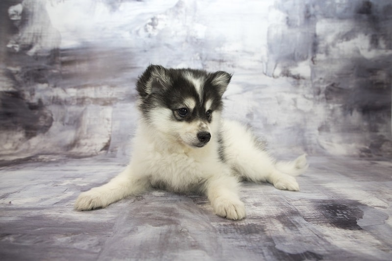 What To Look For When Buying A Pomsky