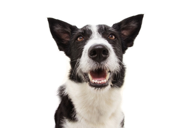 Border Collie Mixes