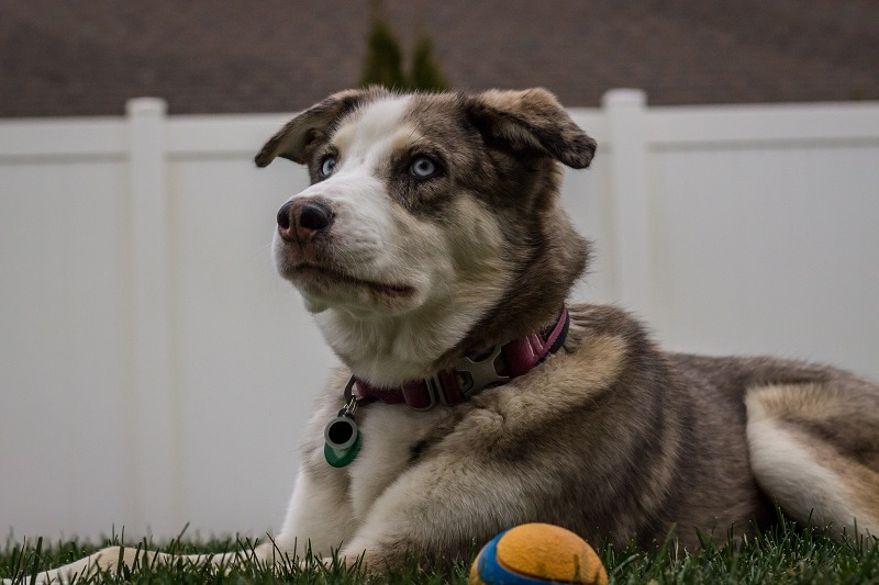Australian Shepherd Husky Mix Care