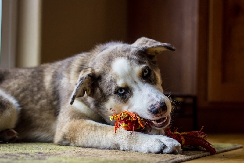 What Is an Australian Shepherd Husky Mix