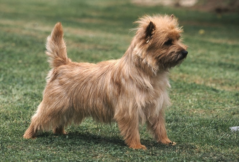 Cairn Terrier Mix