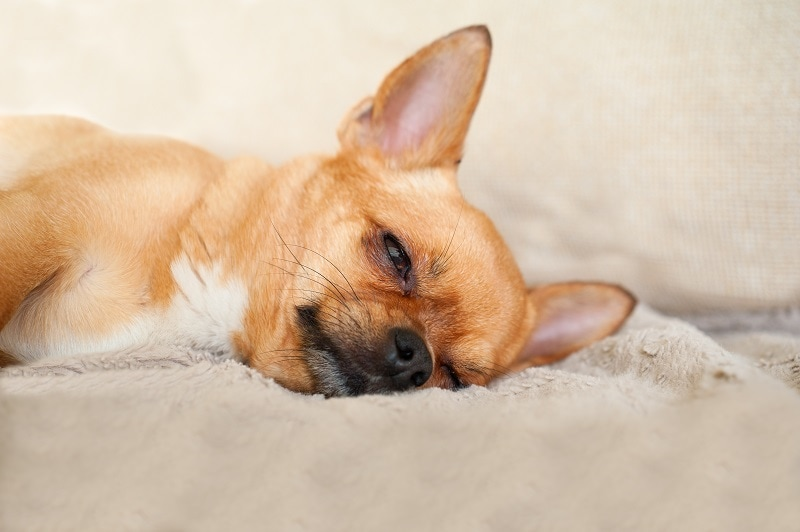 Characteristics of Chihuahua Terrier Mix
