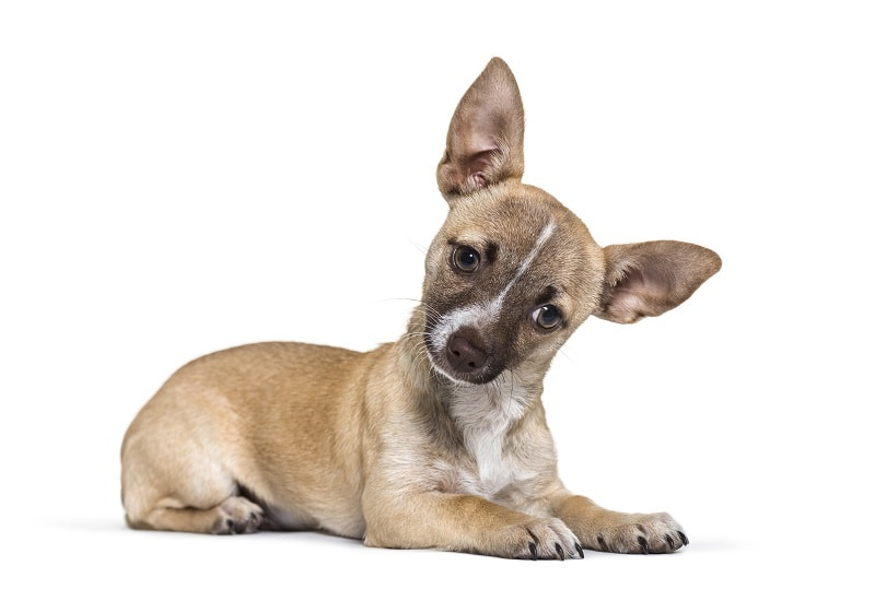What Is a Chihuahua Terrier Mix