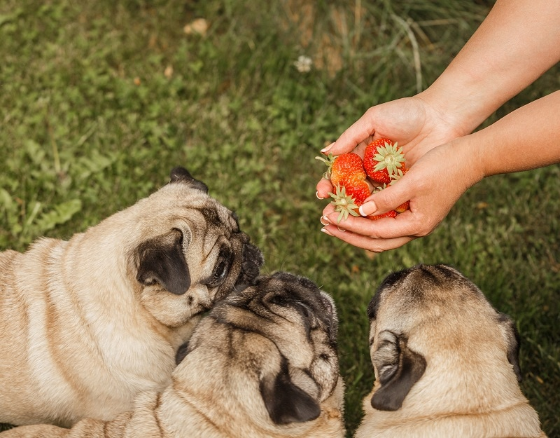 Benefits of Strawberries for Dogs