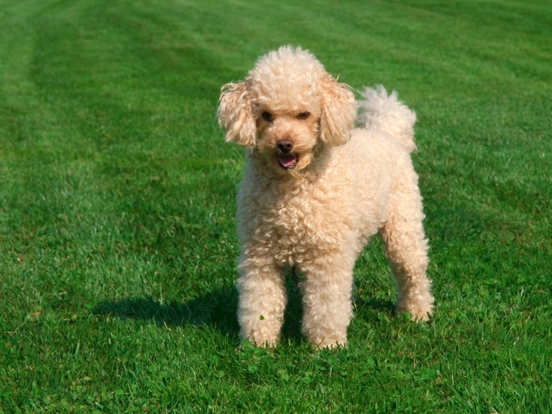different types of poodle