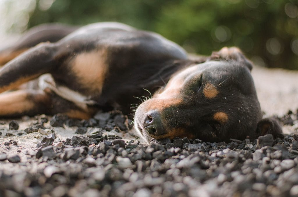 Can Dogs Have Night Terrors?