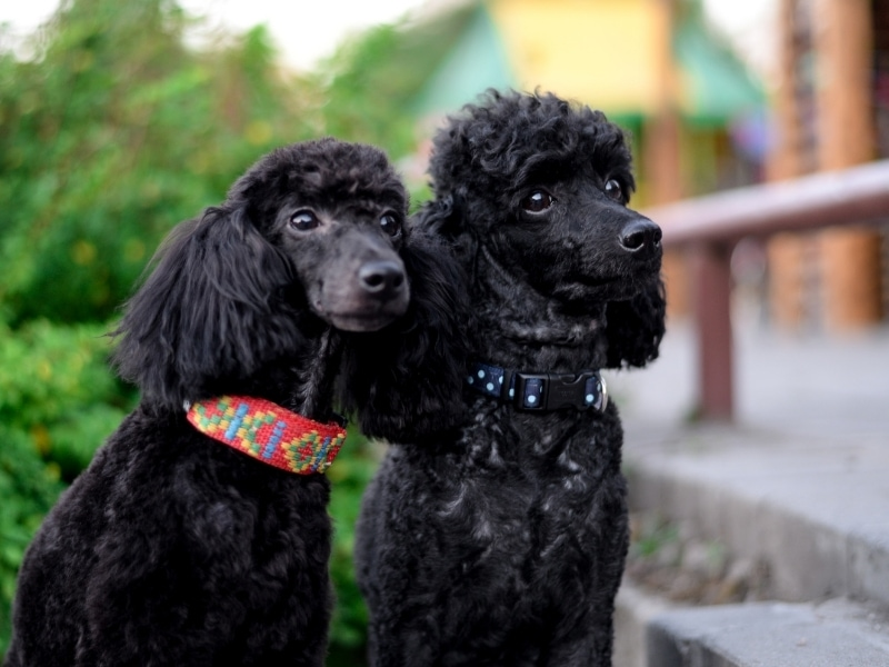 types of poodles