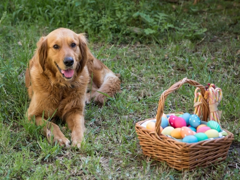 Benefits of Eggs for Dogs