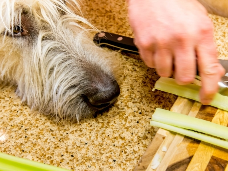 Risks of Celery for Dogs