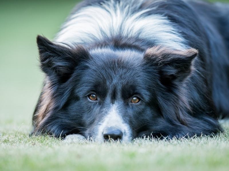What Is a Border Collie Pomeranian Mix