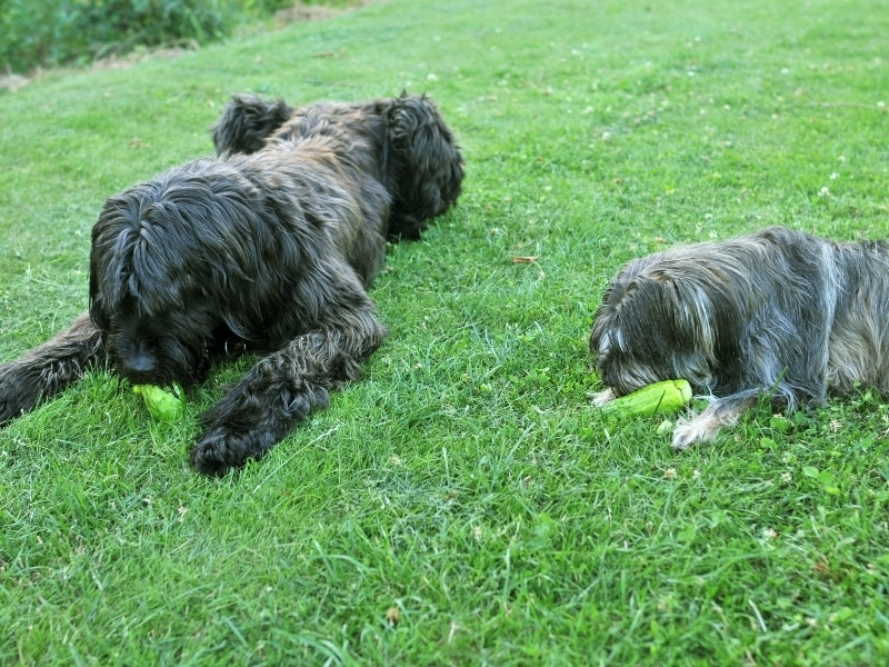 Benefits of Cucumbers for Dogs