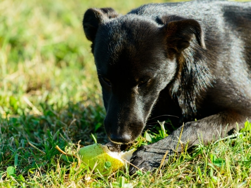 Benefits of Pears for Dogs