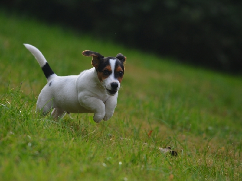 Brief Jack Russell Terrier History
