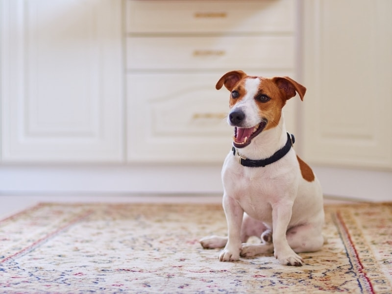 Popular Jack Russell Terrier Mix Breed
