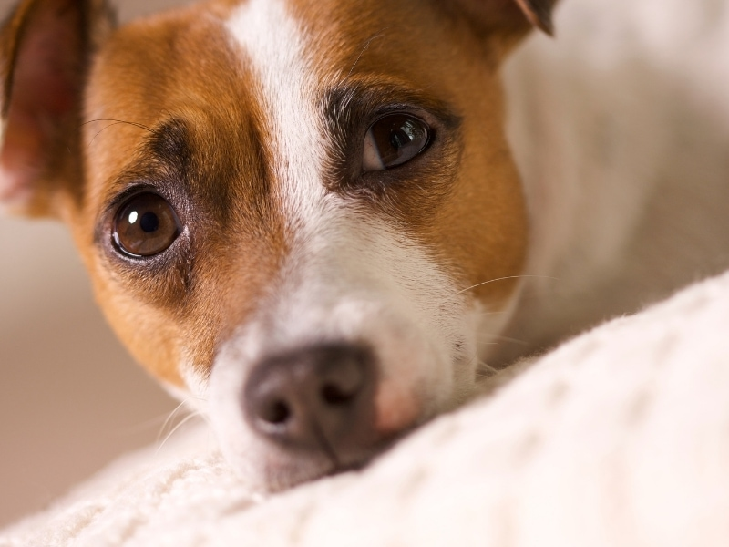 brief history of jack russell