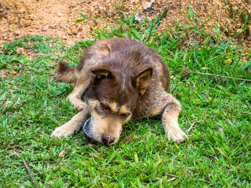 Benefits of Coconut for Dogs