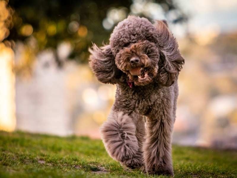 Brief History of Poodle