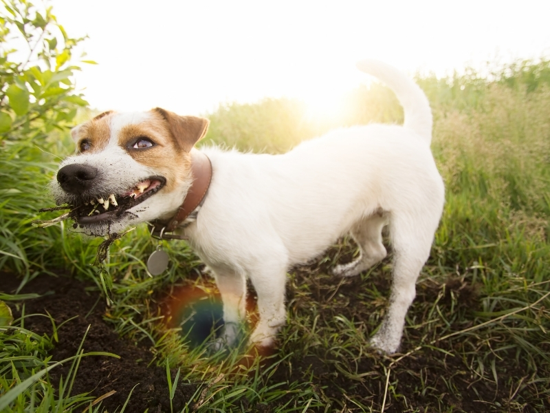 Why Do Dogs Eat Dirt